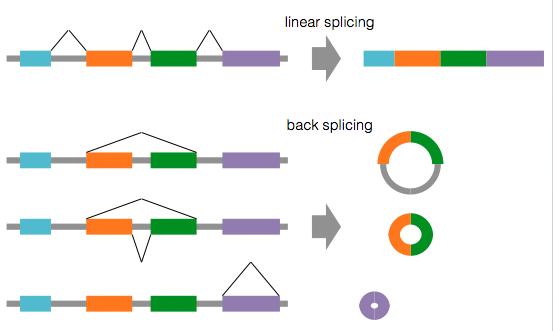 circRNA | pre-mRNA の back spl...